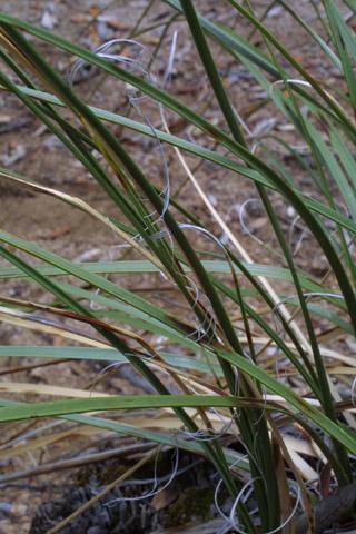 Image http://bioimages.vanderbilt.edu/lq/baskauf/wnomi--lf14678.jpg