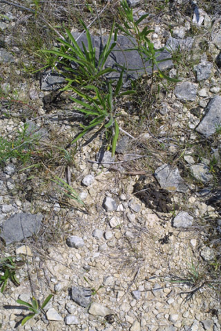 Image http://bioimages.vanderbilt.edu/lq/baskauf/wnoscom-dry-scattered-12853.jpg