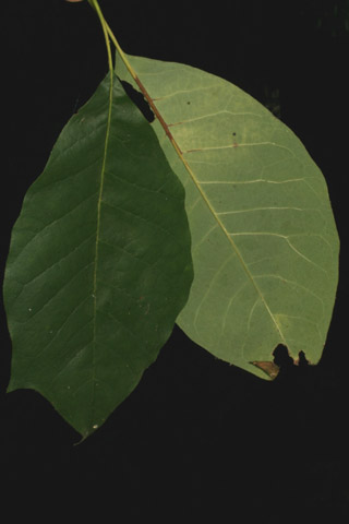 Image http://bioimages.vanderbilt.edu/lq/baskauf/wnyaq2-lftoothed54896.jpg