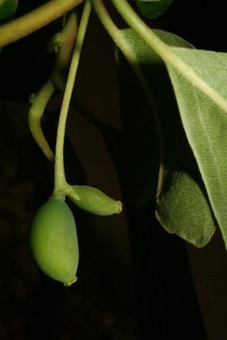 Image http://bioimages.vanderbilt.edu/lq/baskauf/wnybi--fr52441.jpg
