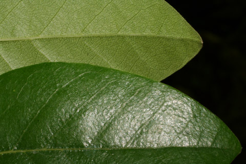 Image http://bioimages.vanderbilt.edu/lq/baskauf/wnybi--lfmargin-uplow52459.jpg