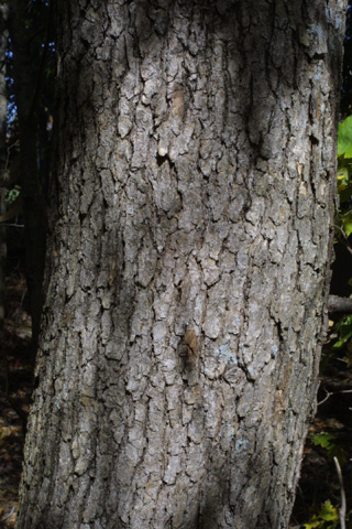 Image http://bioimages.vanderbilt.edu/lq/baskauf/wnysy--brmedium16715.jpg