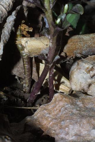 Image http://bioimages.vanderbilt.edu/lq/baskauf/wobvi--st31398.jpg
