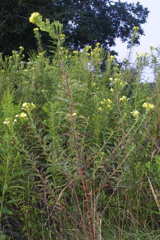 Image http://bioimages.vanderbilt.edu/lq/baskauf/woebi--wp29088.jpg