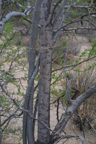 Image http://bioimages.vanderbilt.edu/lq/baskauf/wolte--brdistant14450.jpg