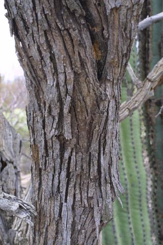 Image http://bioimages.vanderbilt.edu/lq/baskauf/wolte--brlarge14441.jpg
