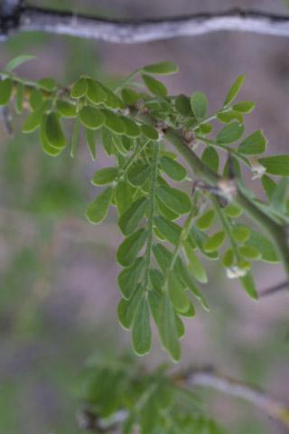 Image http://bioimages.vanderbilt.edu/lq/baskauf/wolte--lf14446.jpg