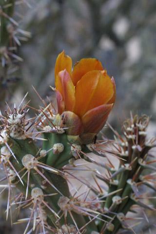 Image http://bioimages.vanderbilt.edu/lq/baskauf/wopac--flside14476.jpg