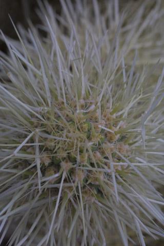 Image http://bioimages.vanderbilt.edu/lq/baskauf/wopbi--ap14963.jpg