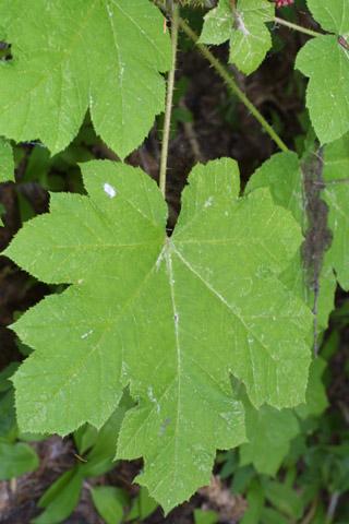 Image http://bioimages.vanderbilt.edu/lq/baskauf/wopho--lf42518.jpg