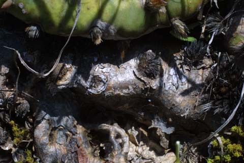 Image http://bioimages.vanderbilt.edu/lq/baskauf/wophu--br21882.jpg