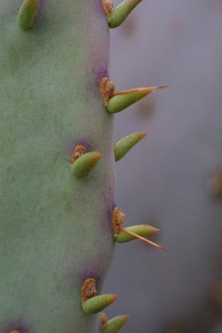 Image http://bioimages.vanderbilt.edu/lq/baskauf/wopsa--arleaf14259.jpg