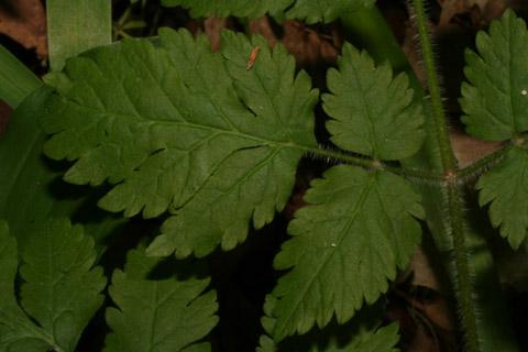 Image http://bioimages.vanderbilt.edu/lq/baskauf/woscl--lfleaflet65502.jpg