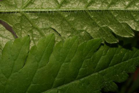 Image http://bioimages.vanderbilt.edu/lq/baskauf/woscl--lfmargin-uplow65490.jpg