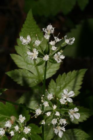 Image http://bioimages.vanderbilt.edu/lq/baskauf/woslo--fl65224.jpg