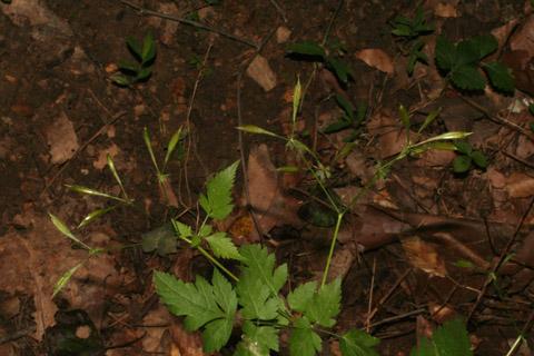 Image http://bioimages.vanderbilt.edu/lq/baskauf/woslo--frinfruct66430.jpg