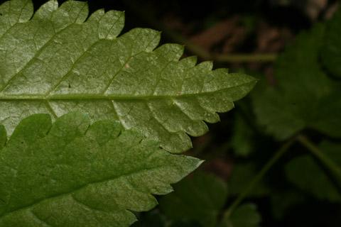 Image http://bioimages.vanderbilt.edu/lq/baskauf/woslo--lfmargin-uplow65231.jpg