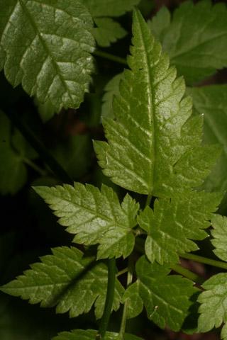 Image http://bioimages.vanderbilt.edu/lq/baskauf/woslo--lfupper65244.jpg