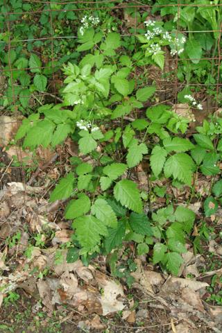 Image http://bioimages.vanderbilt.edu/lq/baskauf/woslo--wp65219.jpg