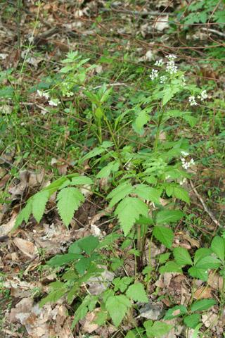 Image http://bioimages.vanderbilt.edu/lq/baskauf/woslo--wp65222.jpg