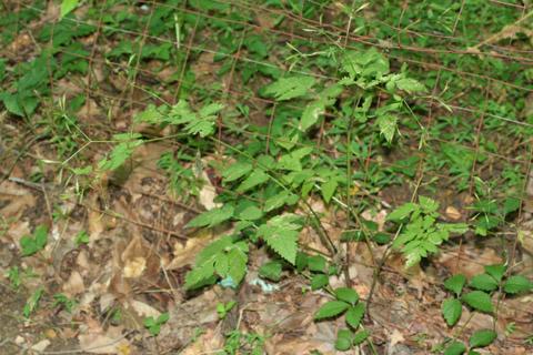 Image http://bioimages.vanderbilt.edu/lq/baskauf/woslo--wpin-fruit66427.jpg