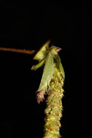 Image http://bioimages.vanderbilt.edu/lq/baskauf/wosvi--flclose50632.jpg