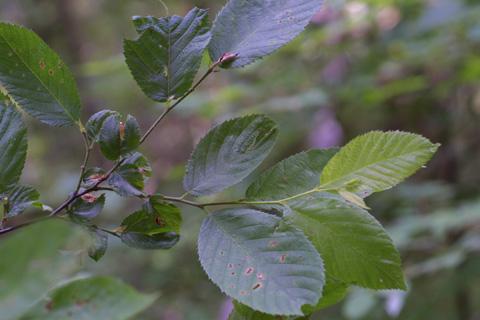 Image http://bioimages.vanderbilt.edu/lq/baskauf/wosvi--lfseveral12129.jpg