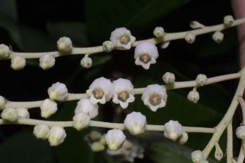 Image http://bioimages.vanderbilt.edu/lq/baskauf/woxar--fltop27553.jpg