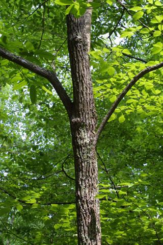 Image http://bioimages.vanderbilt.edu/lq/baskauf/woxar--wptrunk11712.jpg