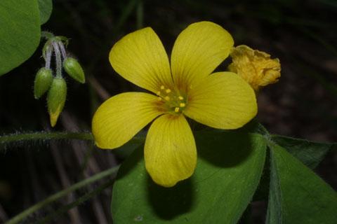 Image http://bioimages.vanderbilt.edu/lq/baskauf/woxgr--flfront32827.jpg