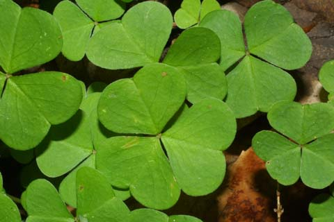 Image http://bioimages.vanderbilt.edu/lq/baskauf/woxmo--lf26260.jpg