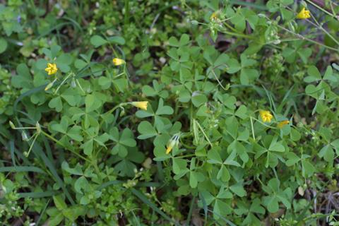 Image http://bioimages.vanderbilt.edu/lq/baskauf/woxst--wpmass20920.jpg