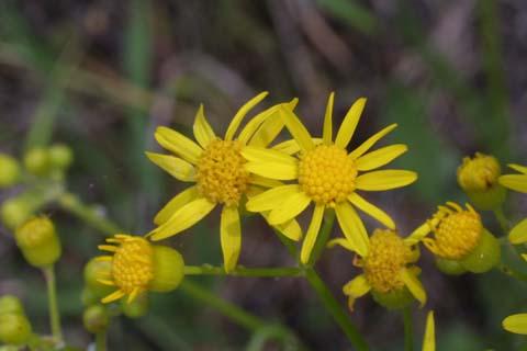 Image http://bioimages.vanderbilt.edu/lq/baskauf/wpaan6-fl23631.jpg