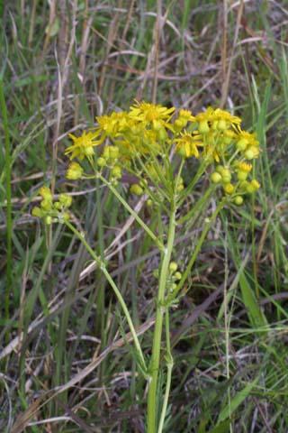 Image http://bioimages.vanderbilt.edu/lq/baskauf/wpaan6-flinflor23635.jpg
