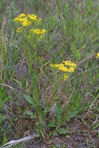 Image http://bioimages.vanderbilt.edu/lq/baskauf/wpaan6-wp23626.jpg