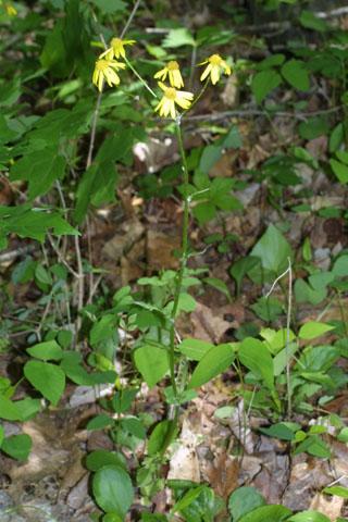 Image http://bioimages.vanderbilt.edu/lq/baskauf/wpaau3-wp33690.jpg