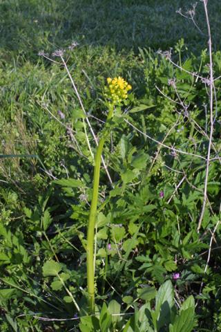 Image http://bioimages.vanderbilt.edu/lq/baskauf/wpagl17wp20595.jpg