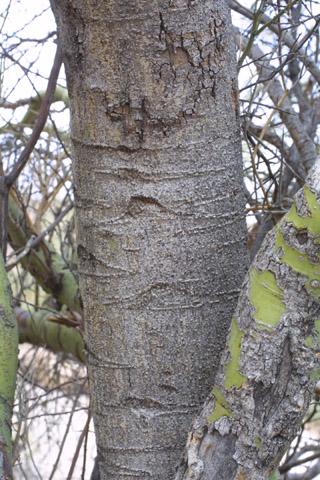 Image http://bioimages.vanderbilt.edu/lq/baskauf/wpami5-brlarge14432.jpg
