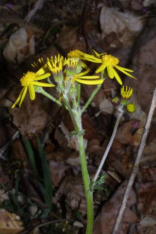 Image http://bioimages.vanderbilt.edu/lq/baskauf/wpaob6-flinflor32397.jpg