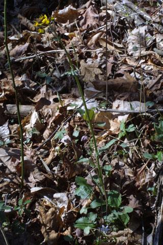 Image http://bioimages.vanderbilt.edu/lq/baskauf/wpaob6-wpdevel-fl32094.jpg