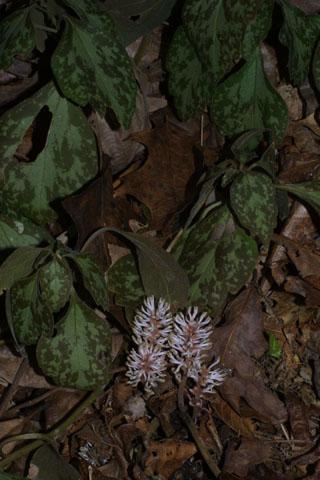 Image http://bioimages.vanderbilt.edu/lq/baskauf/wpapr7-wp31711.jpg