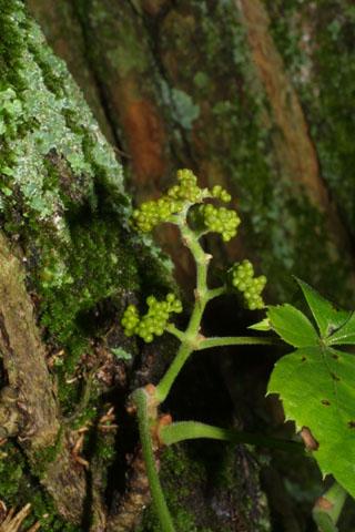 Image http://bioimages.vanderbilt.edu/lq/baskauf/wpaqu2-fldevel-inflor35140.jpg