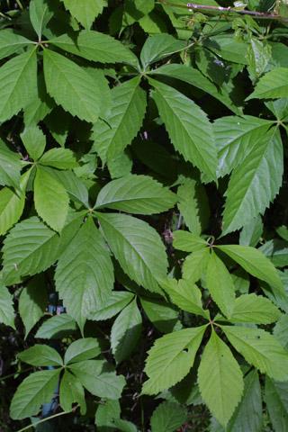 Image http://bioimages.vanderbilt.edu/lq/baskauf/wpaqu2-lf10885.jpg