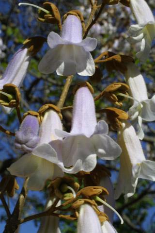 Image http://bioimages.vanderbilt.edu/lq/baskauf/wpato2-flclose10743.jpg