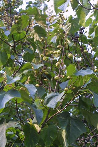 Image http://bioimages.vanderbilt.edu/lq/baskauf/wpato2-frinfruct15209.jpg
