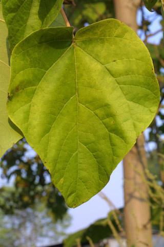 Image http://bioimages.vanderbilt.edu/lq/baskauf/wpato2-lf15295.jpg