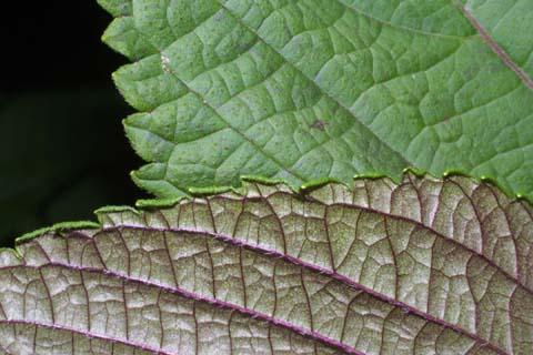 Image http://bioimages.vanderbilt.edu/lq/baskauf/wpefr4-lfmargin-uplow29476.jpg