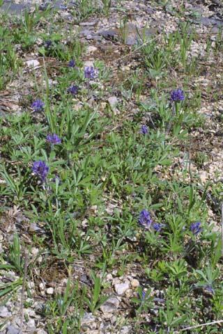 Image http://bioimages.vanderbilt.edu/lq/baskauf/wpesu5-wpmass21702.jpg