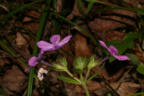Image http://bioimages.vanderbilt.edu/lq/baskauf/wpham3-flside57990.jpg