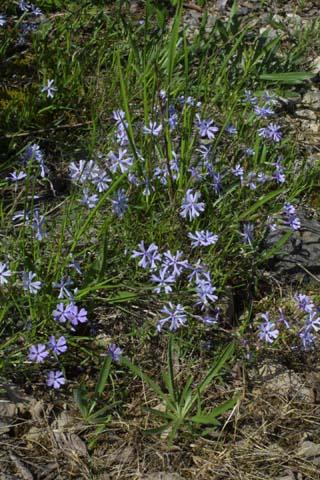 Image http://bioimages.vanderbilt.edu/lq/baskauf/wphbis-wpmass21654.jpg